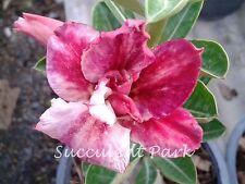 """Rosy Adenium Obesum (Desert Rose) """"Jinda"""" grafted plant"""