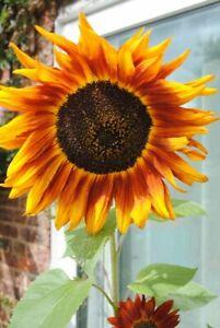 Yellow Sunflower Summer Flower Flowering Plants Photograph Picture Print