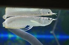 "SILVER AROWANA 6"" live tropical aquarium fish TANK RAISED in Florida RARE"