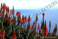 RARE ALOE ARBORESCENS kranz vera healing medicinal succulent plant seed 10 SEEDS