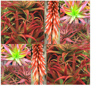CHOOSE SIZE!  Very Rare 'Red Aloe' Cameronii Unusual Colorful Exotic Live Plant