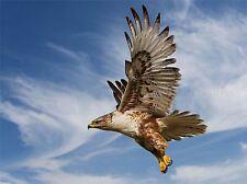 FERRUGINOUS HAWK PREY HUNTING FLIGHT BIRD ART PRINT POSTER PICTURE BMP769A