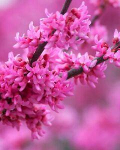 ARBOL DEL AMOR - Cercis apto para bonsai y jardín - 150 Semillas