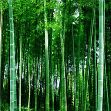 100+ Fresh Giant Bamboo_Seeds with instructions - Dendrocalamus Giganteus