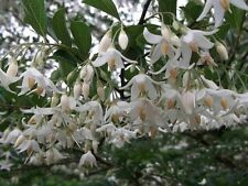 ultra rare bonsai seeds -- styrax formosana stunning 2 year old seed grown plant