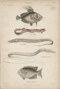 FISH, NATURAL HISTORY, Bandfish Dory Hardtail Amphacanth 1846 Antique Art Print