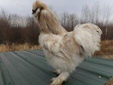 10+ Silkies chicken hatching eggs