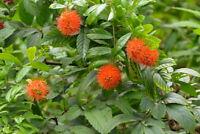 ** Fluss-Buschbaum Zierbaum Wintergarten kugelige Blütenstände - exotische Samen