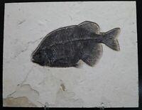 Museum Grade Fossil Fish Phareodus Green River Fm Wyoming COA Eocene