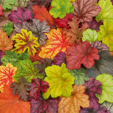 EXCLUSIVE HEUCHERA MIX SEED (free p&p)