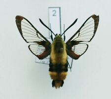 Sphingidae - Hemaris diffinis - Snowberry Clearwing - male #2