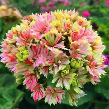 BUY 3 GET 2 FREE Bi-color RARE Geranium Seeds 100pcs Pelargonium Bonsai