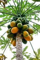 25  Golden Papaya Seeds Fruit Tree Seed Non GMO Organic Home Garden