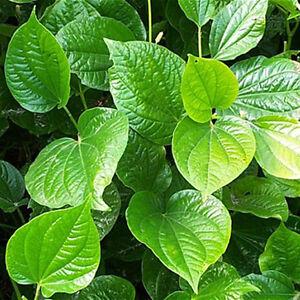 Betel Leaf,(Lá Lốt) Piper Lolot Live Plant