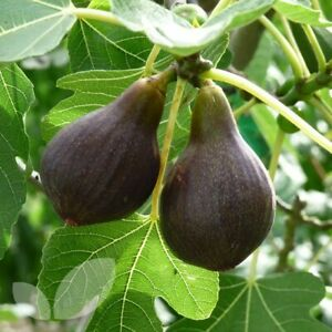 """3x Fig Tree 'Brown Turkey' 8"""" Unrooted cuttings Ficus Carica Hardy Edible Fruit"""
