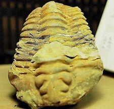 Fossil Trilobyte arthropod collectable,Fos-D82,524.4 7ct,3.70oz,73x52x26mm,