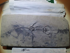 KEICHOUSAURUS hui Fossil 10.0 inch (255mm), complete and100% GENUINE.