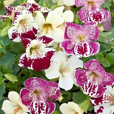 Flower Seeds MIMULUS Monkey Flower - Magic Spring Blollom Mix - Pack of 10 Seeds
