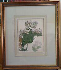 "Framed botanical print ""Statice Arborea"""
