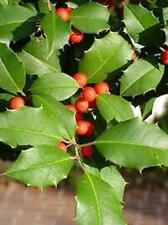 CHEROKEE APPALACHIAN 12inch Tall Size American Holly Tree (1)Seedling Transplant
