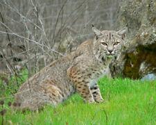 Bobcat (Lynx Rufus) At Sunol Park 8X10 Photo