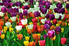 Tulip Flower Bulbs Perennial Rainbow Mix Assorted Color Impressive Spectacular