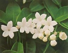 "Hawaiian White Stephanotis Plant 2"" Pot ~ Grow Hawaii"
