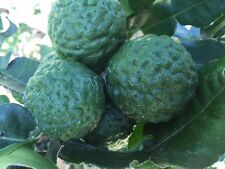 "Citrus hystrix ""kaffir Lime"" ""Thai Lime""  Grow your own Foliage  for Flavoring"
