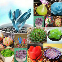 120pcs Semillas de Lithops mixtos viven piedras suculentas Cactus maceta plantas