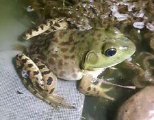 Bullfrog Tadpoles (15 Tadpoles) Free Shipping!