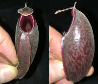 Nepenthes bellii x aristolochoides.  Rooted Cutting
