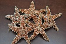 "SUGAR STARFISH STAR SEA SHELL BEACH WEDDING 4 1/2"" - 5"""