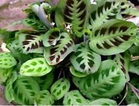 "Maranta Green Prayer Plant Indoor Outdoor Easy to Grow 4"" Pot Garden"