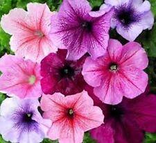 Petunia- (Petunia Multiflora F2) - Veined Mix - 100 seeds