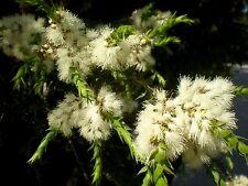 PRICKLY-LEAVED PAPERBARK (Melaleuca styphelioides) Seeds