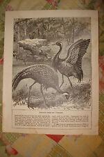 ANTIQUE BIRD PRINT DEMOISELLE CRANE & CORMORANTS NR