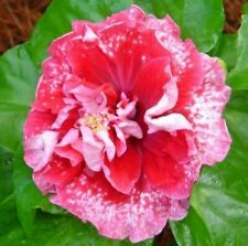 * Early Morning * Rooted Tropical Hibiscus Plant*Ships In Pot*