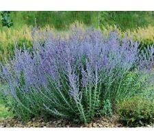 12 graines de LAVANDE D'AFGHANISTAN (Perovskia Atriplicifolia) Y335 SEEDS SAMEN