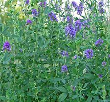 Alfalfa-Medicago Sativa- 300 Seeds - 50 % off sale