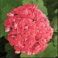 Geranium Bonsai 20 Pcs Seeds Apple Blossom Rosebud Pelargonium Potted Balcony F