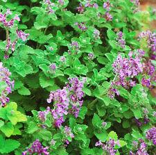 40 Fragrance Mint Seeds Mentha Arvensis Peppermint Herbs Organic D044