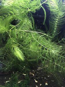 Hornwort Ceratophyllum demersum 5 Stems Live Tropical Aquarium Plant
