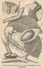 C8223 Bombyx mori - Stampa antica - 1892 Engraving