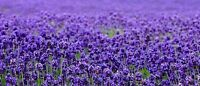 Beautiful Lavender Seeds  500 SEEDS  --BUY 4 ITEMS FREE SHIPPING