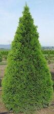 Thuja 50 FRESH THUJA TREE Cedar Thuja Occidentalis 50 Seeds STRATIFICATION 2017y