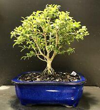 Bonsai Tree Kingsville Boxwood 10 Years Old, Quality Blue Glazed Chinese Pot