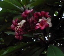 """1 talea""""di Plumeria Rubra Varietà Powder Pink-Cutting"""" lunga dai 30/50 cm"""