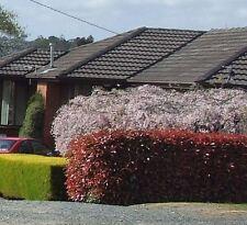 8 Red Hedge Photinia robusta Garden Plant Fast Hedging Screen fraseri rubens