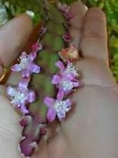 2 CUTTINGS Rhipsalis russellii epiphyte RARE Cactus Succulent Purple flower