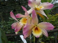 Dendrobium Nobile Mild yumi lotus x self.